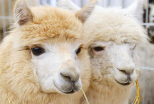 Stebuklingos alpakos ir ekskursija laivu