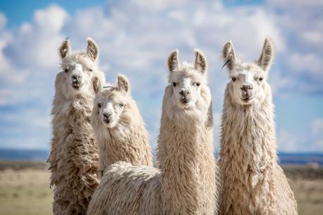 Diena Trakuos: Alpakos, Ekskursija laivu, Šokolado muziejuje ir Kibinai