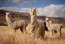 """Pramogos šeimai: stebuklingos alpakos ir vandens pramogos """"Trasalyje"""""""